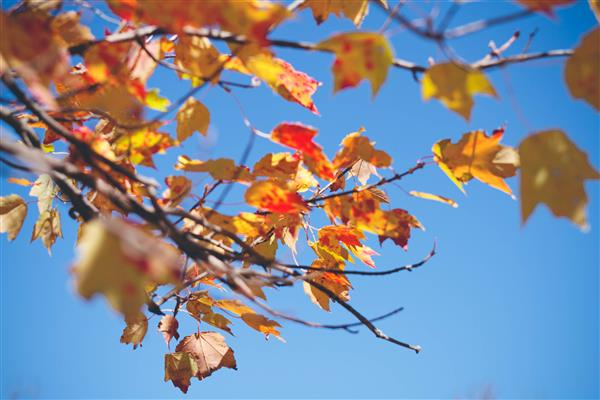 Orange falls leaves against a blue sky.